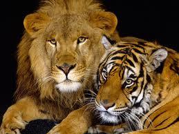 MAC lion
